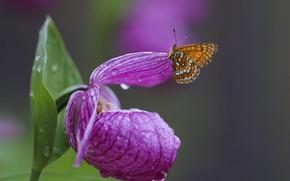 Картинка цветок, вода, капли, макро, природа, бабочка, шашечница, венерин башмачок
