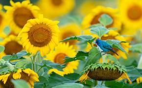 Картинка поле, лето, листья, подсолнухи, цветы, птица, желтые, птичка, синяя, подсолнечник, голубая, пташка