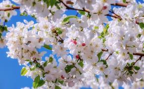 Картинка apple, весна, яблоня, цветение, blossom, macro, spring, bloom