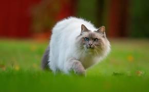 Картинка кошка, трава, кот, взгляд, природа, поза, газон, мордочка, прогулка, лужайка, крадется, рэгдолл