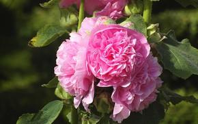Картинка листья, розовые цветы, мальва