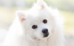 Картинка взгляд, портрет, собака, белая, мордашка, светлый фон, шпиц
