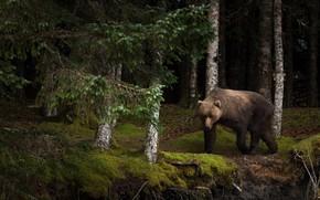 Картинка лес, лето, взгляд, морда, деревья, ветки, природа, поза, темный фон, стволы, мох, красота, медведь, мишка, ...