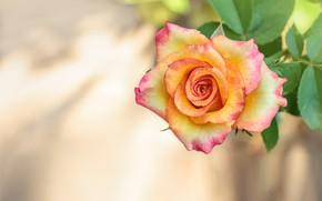 Картинка макро, фон, роза, ветка, бутон