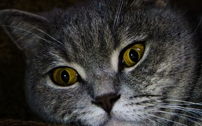 Картинка кошка, глаза, кот, фон, обои, портрет, британская, серый кот