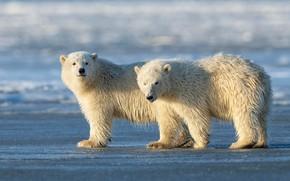 Картинка зима, белый, снег, природа, поза, берег, медведь, медведи, пара, медвежонок, медвежата, белый медведь, парочка, два, …