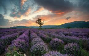 Картинка поле, небо, облака, цветы, природа, дерево, ромашки, вечер, Весна, лаванда, Болгария