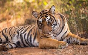 Картинка взгляд, тигр, дикая кошка
