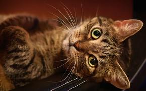 Картинка кошка, кот, взгляд, морда, фон, лежит, полосатый