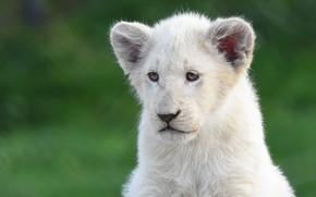 Картинка белый, взгляд, морда, поза, зеленый, фон, портрет, лев, малыш, львенок, львёнок