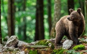 Картинка лес, деревья, природа, камни, мох, медведь, мишка, бурый