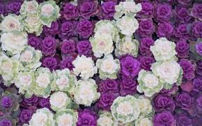 Картинка цветы, белые, клумба, много, сиреневые, декоративная капуста