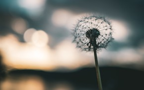 Картинка цветок, природа, одуванчик