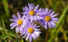 Картинка лето, цвето, Астра ромашковая