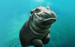 Картинка sea, hippo, baby hippo