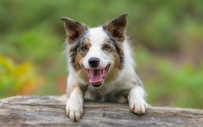 Картинка взгляд, морда, радость, фон, собака, Бордер-колли