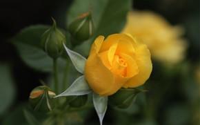 Картинка роза, бутон, желтая