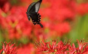 Картинка солнце, цветы, бабочка, лилии, красные, боке