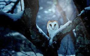 Картинка зима, лес, снег, ветки, синий, природа, фон, дерево, сова, птица, ствол, выглядывает, сипуха