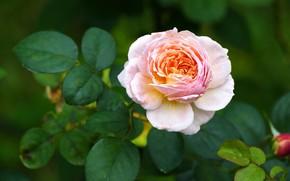 Картинка цветок, листья, розовая, роза, оранжевая, сад, бутон, двухцветная, зеленый фон