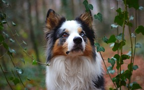 Картинка лес, морда, листья, портрет, собака, щенок, плющ, бордер-колли, разноглазая