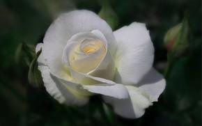 Картинка макро, роза, бутон, белая
