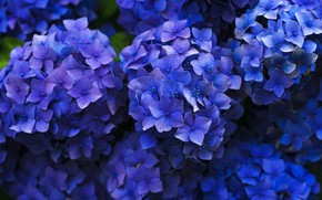 Картинка цветы, фон, лепестки, фиолетовая, много, соцветия, гортензия