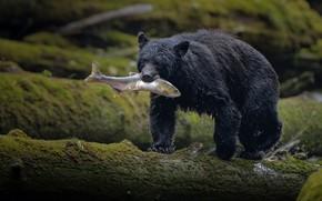 Картинка поза, берег, черный, рыбалка, рыба, медведь, бревно, добыча, улов, барибал