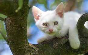 Картинка белый, взгляд, дерево, мордочка, котёнок, на дереве