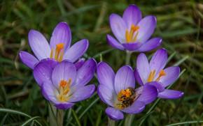 Картинка макро, весна, лепестки, Крокусы, Шафран, пела