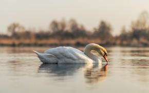 Картинка белый, отражение, птица, лебедь, водоем