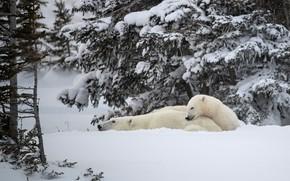 Картинка зима, лес, белый, снег, ветки, отдых, лапы, медведи, пара, медвежонок, белые, белый медведь, хвоя, два, …