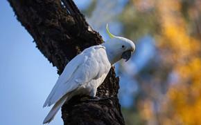 Картинка белый, дерево, птица, попугай, боке, какаду