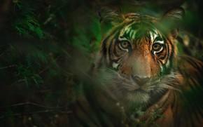 Картинка взгляд, морда, листья, тигр, боке