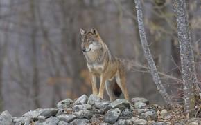 Картинка лес, камни, волк, DUELL ©