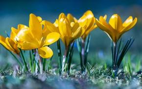 Картинка свет, весна, крокусы, цветение