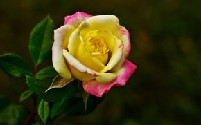 Картинка макро, роза, бутон, тёмный фон, яркая
