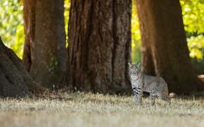 Картинка лес, трава, взгляд, деревья, природа, поза, парк, фон, стволы, поляна, листва, прогулка, рысь, дикая кошка, …