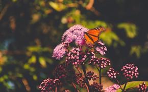 Картинка лето, макро, цветы, природа, темный фон, бабочка, оранжевая, насекомое, розовые, боке