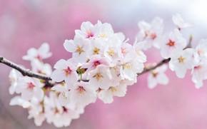 Картинка цветы, вишня, ветка, весна, сакура, белые, розовый фон, цветение, много, боке