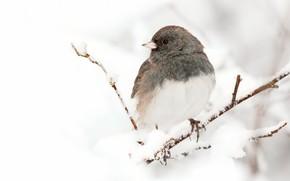 Картинка зима, взгляд, снег, ветки, птица, белый фон, серая