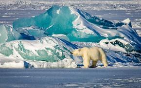 Картинка зима, свет, снег, голубой, берег, лёд, ледник, медведь, айсберг, льдины, белый медведь, север, Арктика