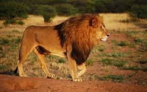 Картинка взгляд, поза, жара, лев, саванна, Африка, дикая кошка, дикая природа, красавец, зной, важный, альфа-самец, настоящий ...