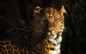 Картинка взгляд, морда, свет, зеленый, фон, леопард, дикая кошка