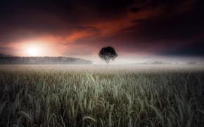 Картинка поле, туман, колосья