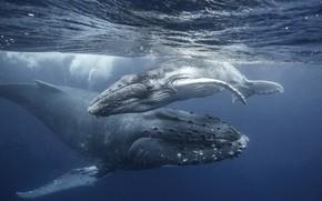 Картинка океан, малыш, семья, кит, мама, киты, китёнок