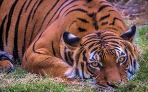 Картинка взгляд, тигр, отдых