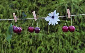 Картинка цветок, вишня, веревка, черешня