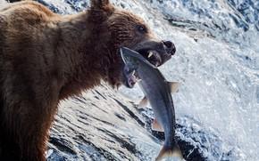 Картинка вода, река, рыбалка, рыба, медведь, зверь, Гризли, улов, форель