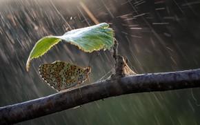 Картинка природа, зонтик, дождь, бабочка, листок, ветка, Roberto Aldrovandi